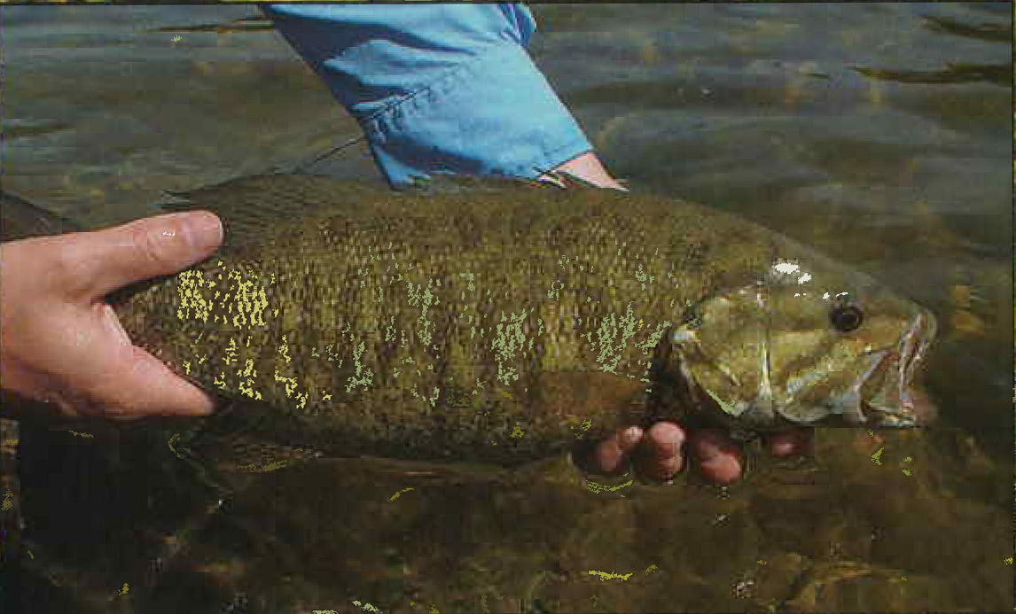 Fly fishing for smallmouth bass fly fisherman for Smallmouth bass fly fishing