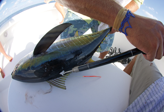 Yellowfin-Tagging