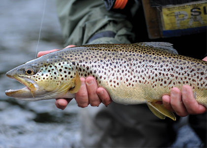 Allegheny Brown Trout