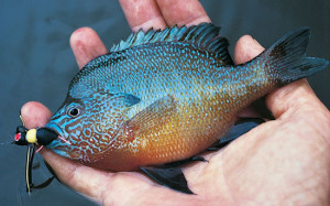 Bluegill-Hair-Foam-Popping-Bugs-Fly-Fisherman