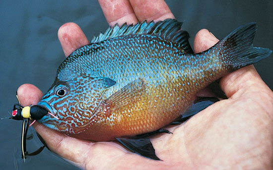 Bluegill Season Fly Fishing