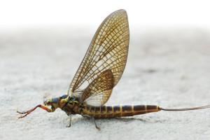 Dark-Green-Drakes-Fly-Fisherman