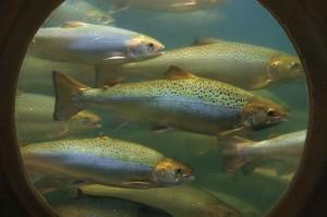 Freshwater-Institute-Atlantic-Salmon-Fly-Fisherman