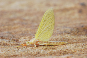 Golden-Drakes-Fly-Fisherman