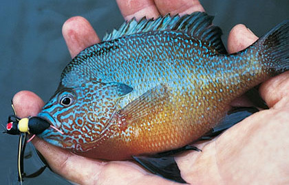 Bluegill and their fraternity of sunfish cousins take well to flies and techniques. They are widely distributed and aggressive fly eaters.