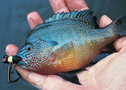 Fly Fishing for Sunfish and Panfish