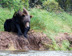Fly fishers, brown bears, and rainbow trout all make annual migrations to the headwater streams of Katmai National Park. Photo: Grace Smith