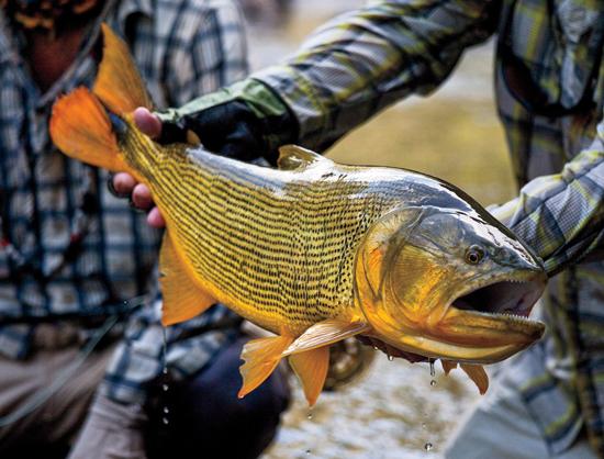 Bolivia Gold