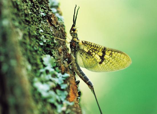 Understanding Mayflies
