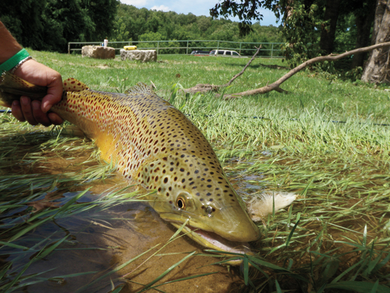 Fishing  Tailwater Brown Trout