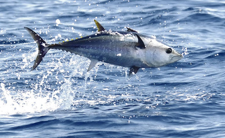 Decreasing Mercury Levels In Bluefin Tuna