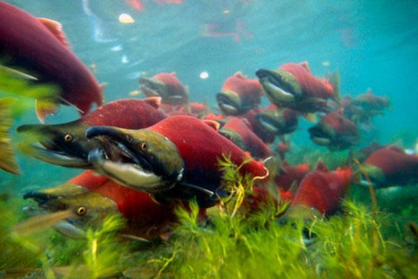 Sockeye salmon (Oncorhynchus nerka); Canada