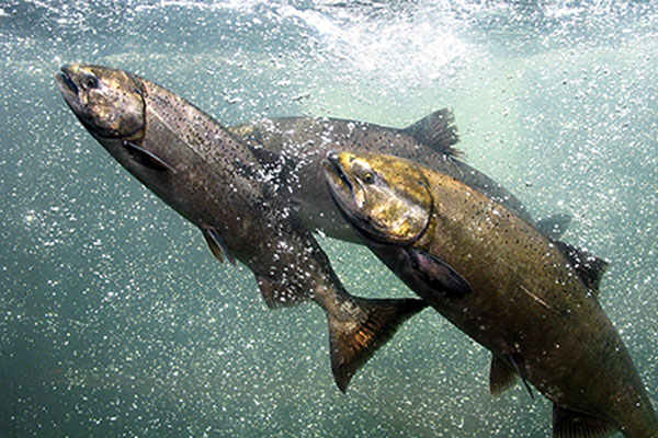 Hatchery Salmon and Steelhead Danger Considered