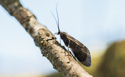 The Brachycentrus hatch along the Watauga River is said to be the the Super Bowl of southeastern aquatic insect emergences.
