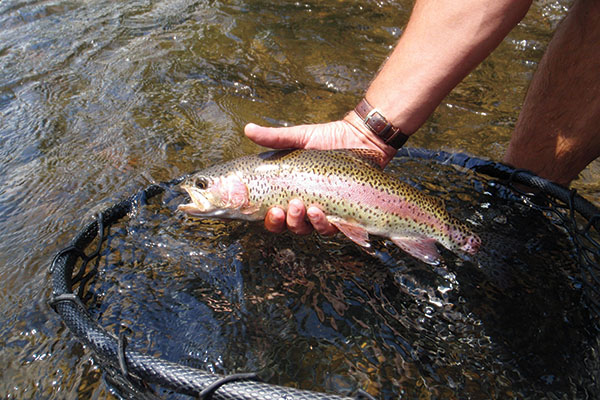 Rainbow-Trout-on-Watauga-River