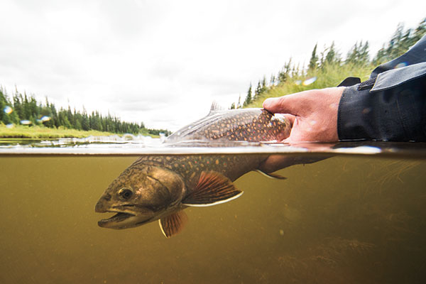 Sea-run brook trout in Hudson Bay