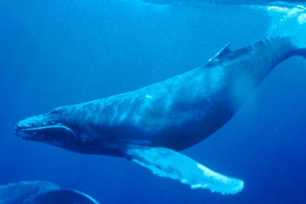 Whales Eat Salmon