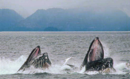 As reported by Sciencenews.org, Humpback whales in Southeast Alaska have been observed deliberately pursuing and eating freshly released hatchery raised salmon.