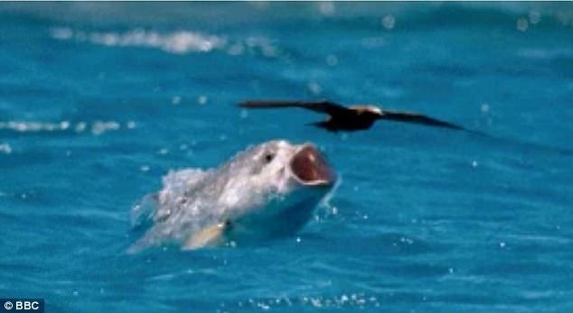 8b4ba30ad0b Giant Trevally Eating Terns - Fly Fisherman