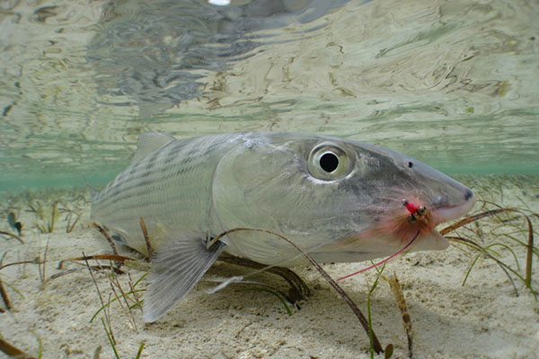 6th annual btt science symposium fly fisherman for Bonefish fly fishing