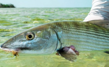 A new development in marine fisheries science has been observed; attempted bonefish spawning in captivity. Find out what's being done and how you can help.