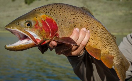 Imperiled Yellowstone Cutthroat Trout are getting a helping hand with new strategies being developed by fisheries managers to control invasive predators.