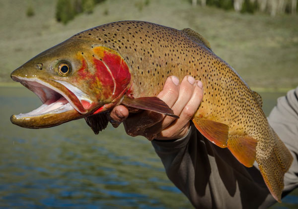 Yellowstone Cutthroat Trout Get New Help