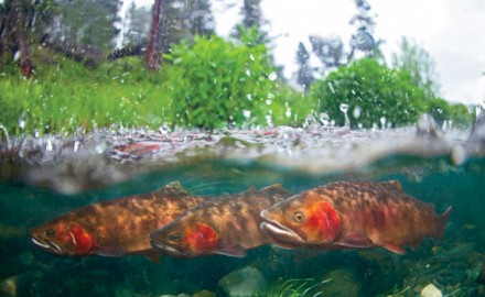 The Native Fish Coalition believes that hatchery fish should never be stocked on top of native fish or even where they might have access to native fish.