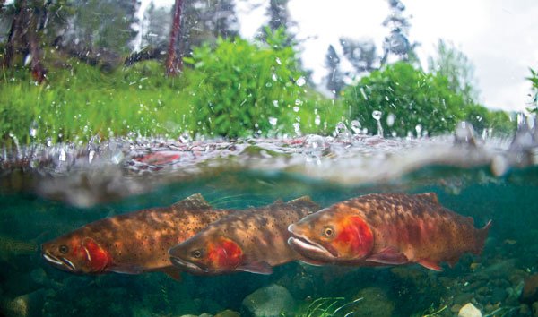 Why a Native Fish Coalition?