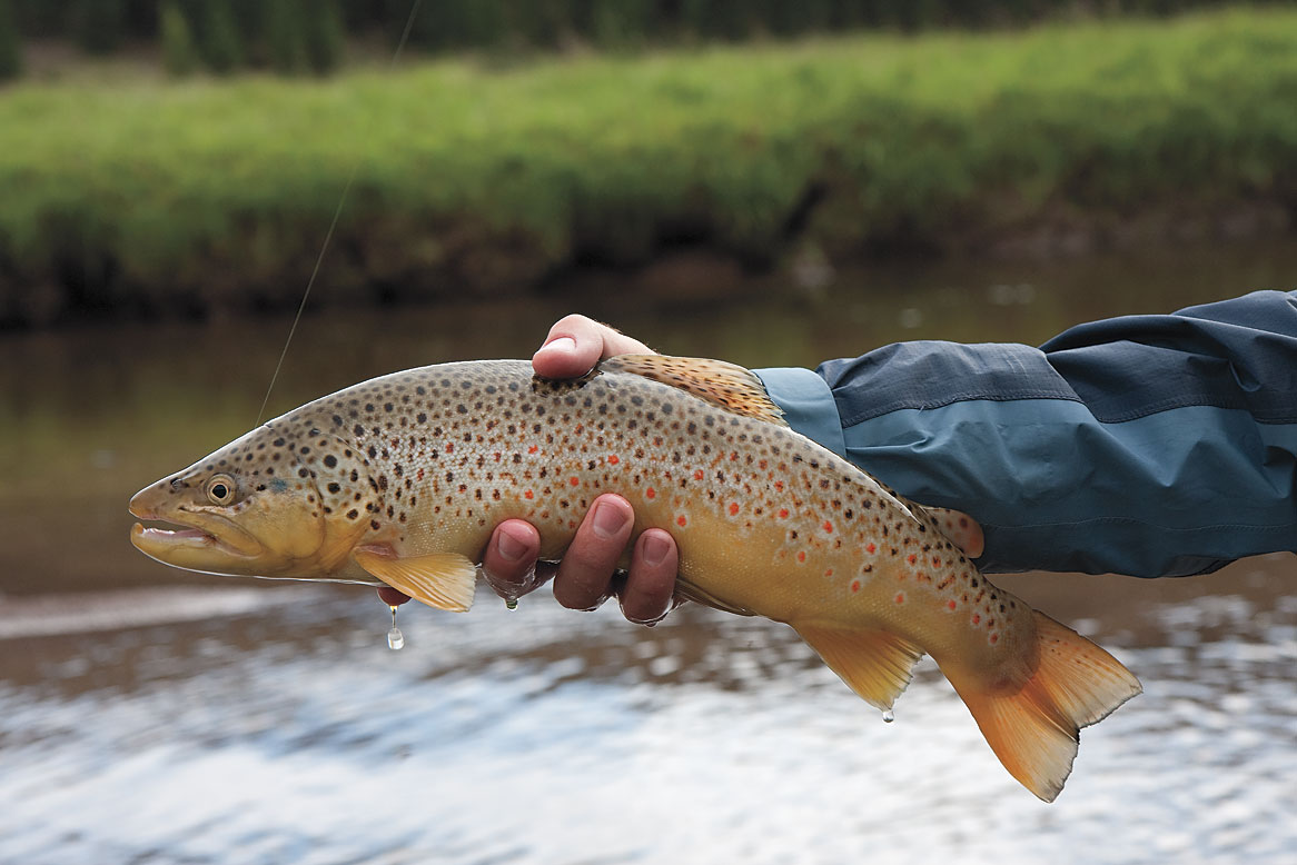 Brown-Trout-on-Elk-Creek