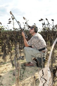 Dove hunting in sunflowers.