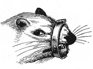 Ferret wearing a muzzle