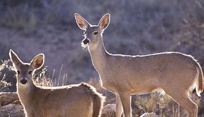 Tactics For Bowhunting Coues Whitetails