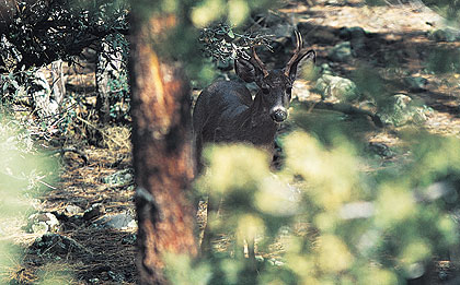 Coues Deer King