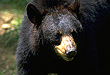Black Bear Hunting In The Garden State