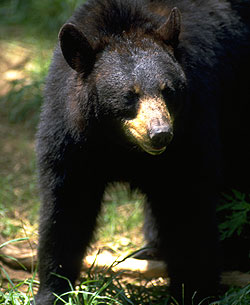 Black bears -- and black bear hunters -- are thriving across North America.