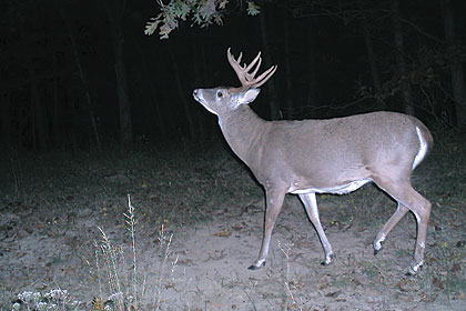 Remote trail cameras give researchers and hunters new insights into deer behavior at scrapes.