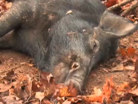 Bowhunting Hogs!