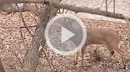 Practice Bowhunting on Live Animals