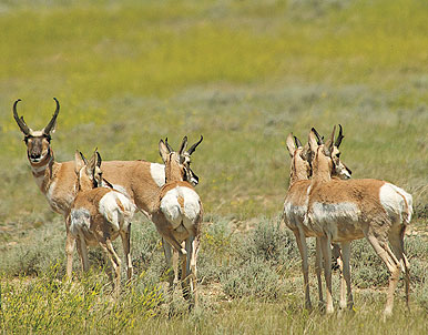 Three Tactics For Bowhunting Pronghorns