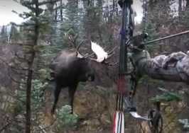 As the bull mooseswayed his rack threateningly, I held my bow at full draw. Vaguely, I could