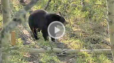 Bowhunting Alberta Black Bears