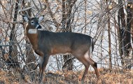 Whitetail-in-woods