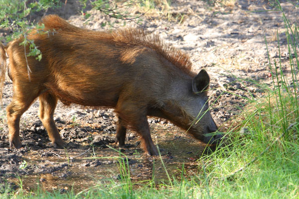 10 Must-Have Hog Hunting Products for 2014