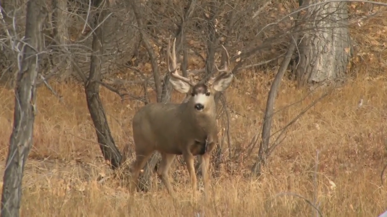 The Switch Squared-Colorado Mule Deer