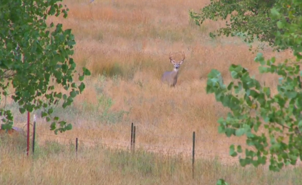 Curt Wells is in Montana on whitetail hunt that proves to be very frustrating.