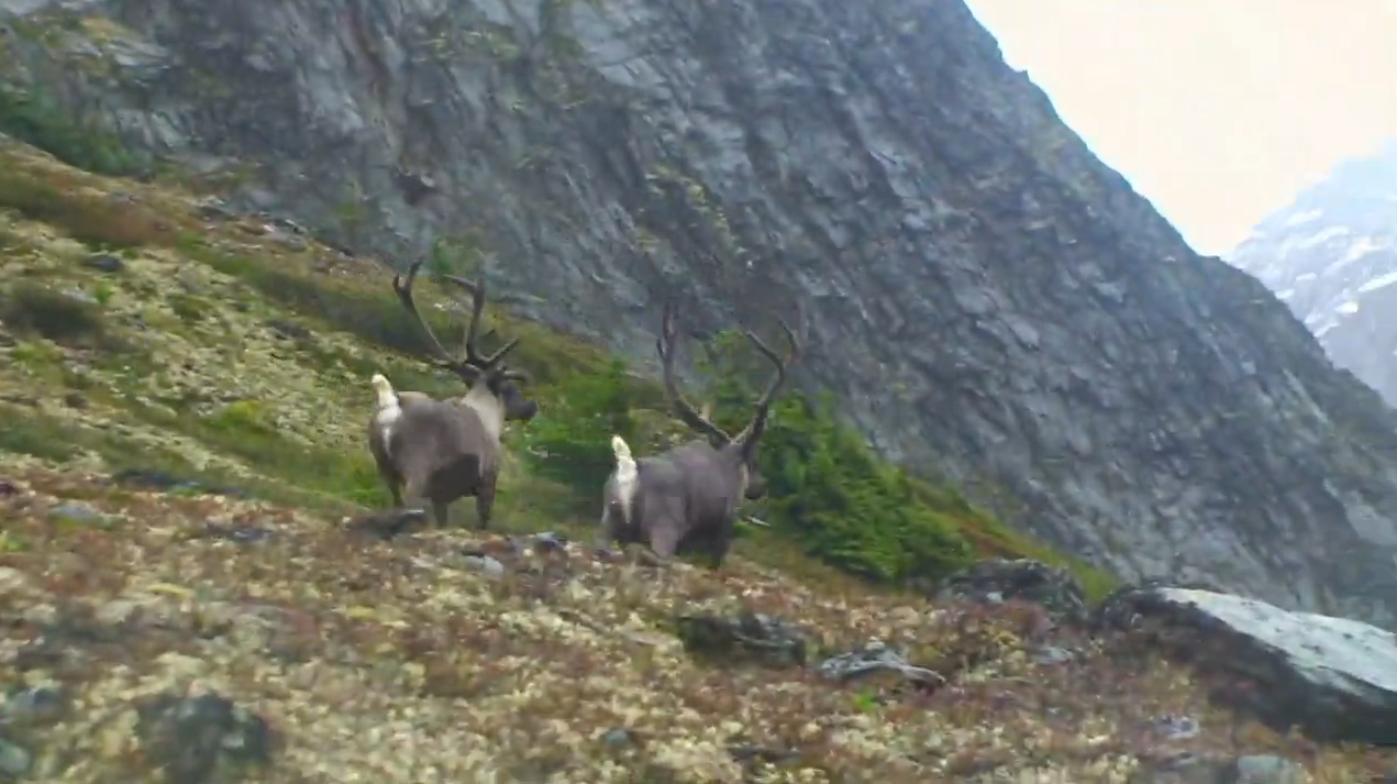 Chasing Mountain Caribou in Canada