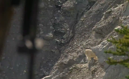 Curt Wells travels to western Canada to hunt mountain goats with Beaverfoot Outfitting near Golden,