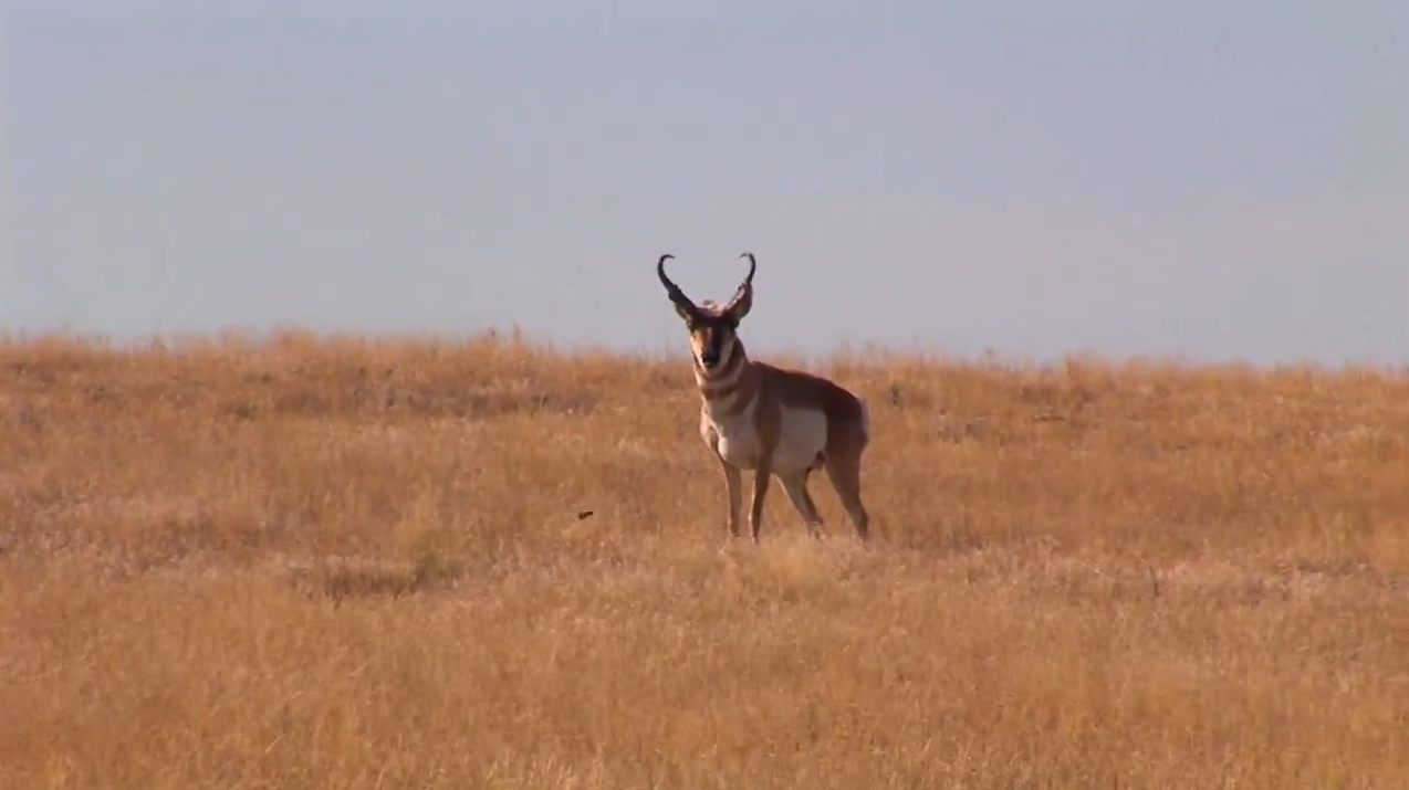 Spot and Stalk Antelope