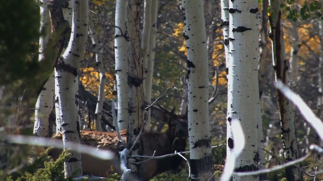 A Decoy Does the Job on a high country Moose